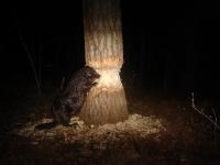 Beaver at night 3