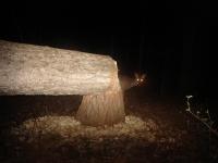 Beaver at night 2