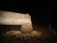 Beaver at night 1